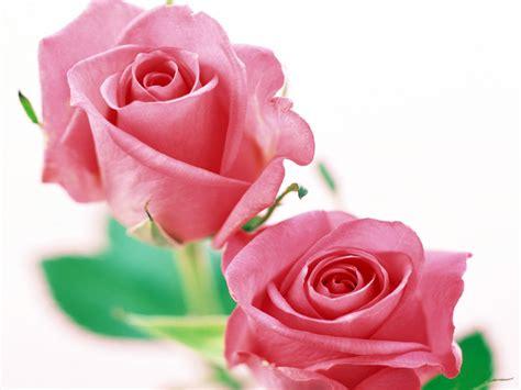 imagenes rosas hd rosas hd fondoswiki com