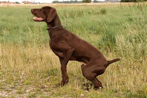weimaraner in appartamento kurzhaar cani taglia grande caratteristiche kurzhaar