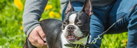 boston terrier dog breed facts  traits hills pet