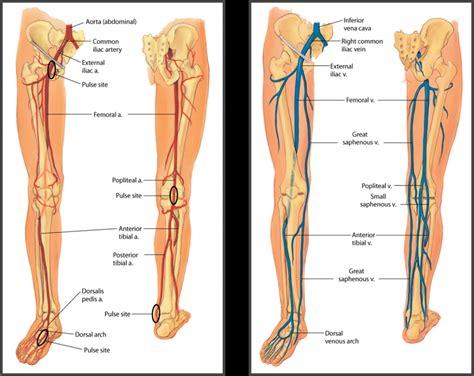 lower extremity diagram leg anatomy arteries human anatomy diagram
