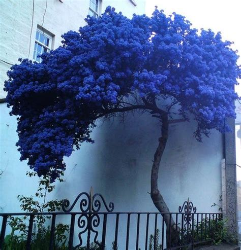 Bibit Benih Seeds Blue Jacaranda Pretty Tree Pohon Biru Ungu a strange lonely blue tree blue flowering shrubs flowering shrubs and small trees