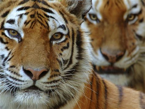 tiger denmark amur tiger species wwf