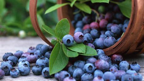 grow buckets full  blueberries  home