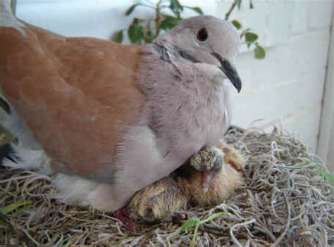 ringneck doves diamond dove home page