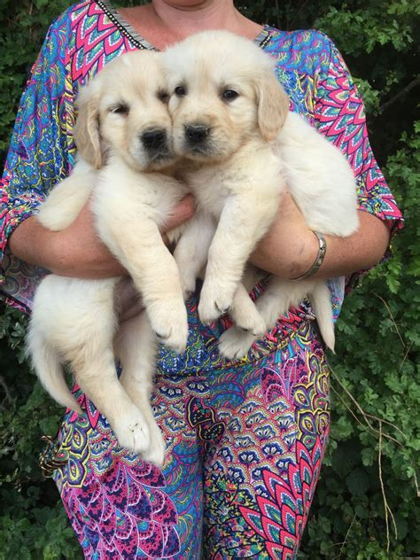 golden retriever puppies white white white golden retriever puppies wickford essex pets4homes