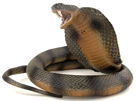 king cobra images king cobra snake facts and photos images the wildlife