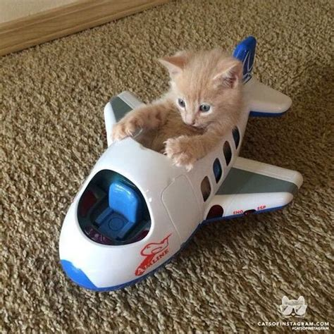 Supercat Kitten 800gr kitten wants to fly wedding cat and animal