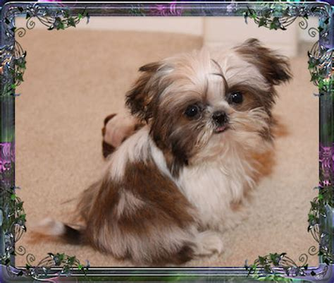 tiny size imperial shih tzu imperial shih tzu puppies for sale imperial breeder