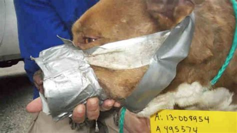 bait dogs pit bull bait quot frodo quot found with duct taped muzzle injuries
