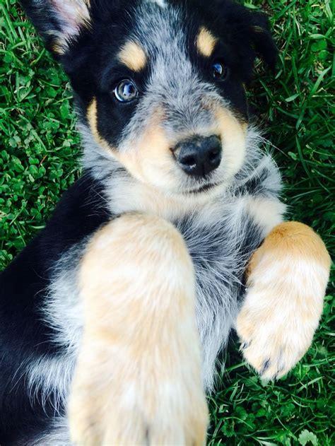 australian shepherd blue heeler puppies 25 best ideas about mixes on cutest mixes corgi mix breeds and