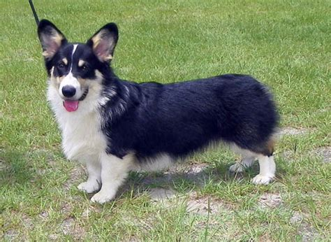 corgi puppies for sale in nc erics corgis pembroke corgi breeder images frompo