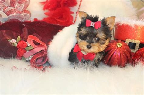 teacup yorkie for sale in florida 17 best images about t cup yorkies for sale in florida on home tea cups