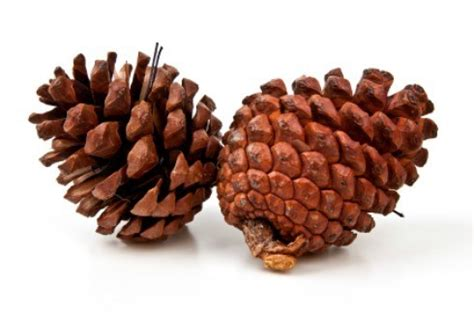 selling pine cones thriftyfun