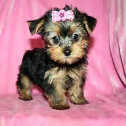 hair cut for tea cup yorkies teacup yorkie puppies with tails rachaeltoxic