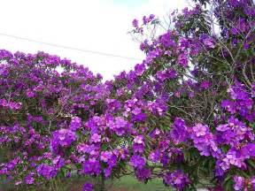 tree with purple flowers photo