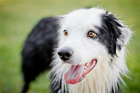 perro travieso perro travieso y agradable border collie las diferentes