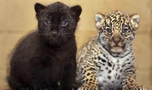 spot difference rare jaguar cubs born kent safari park nature express uk