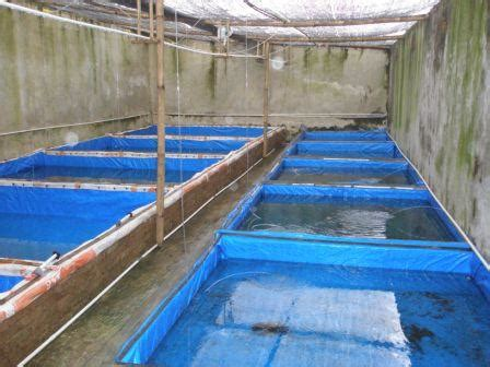 Bibit Lele Bogor cara budidaya ikan lele lele sangkuriang