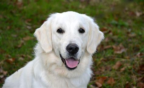 are golden retrievers intelligent le golden retriever caract 232 re 233 ducation sant 233 prix race de chien