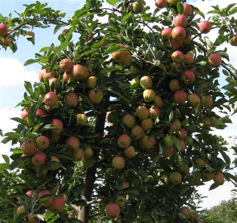 thinning fruit on apple trees thinning flowers and fruitlets apple best practice guide
