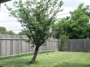 panoramio photo of backyard tree