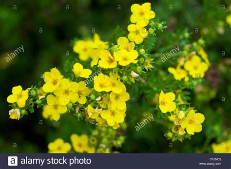 small yellow flowers of shrubby cinquefoil potentila fruticosa v stock photo royalty free
