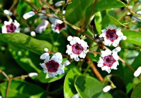 Jenis Dan Obat Tidur cara membuat obat bius dari bunga kecubung jenis tanaman