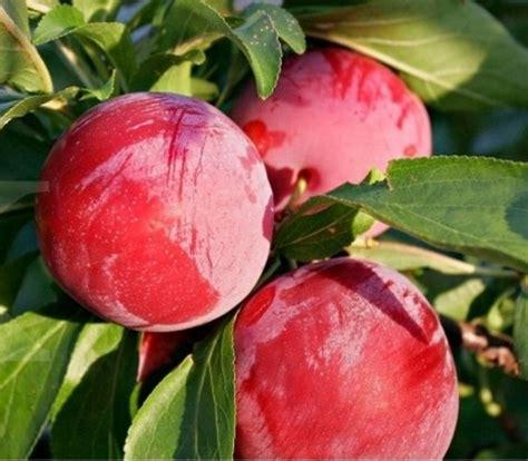 Benih Bibit Biji Buah Black Currant Fruit Seeds Import tanaman plum australia plum aussie bibitbunga