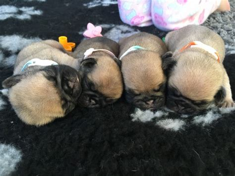 pug puppies for sale in edinburgh kc registered pug puppies edinburgh midlothian pets4homes
