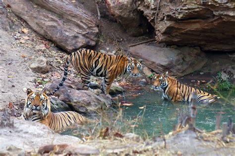 tigers  bandhavgarh national park india kings lodge