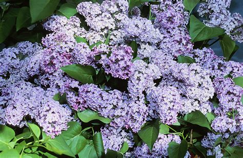 lilac bush lilac time red slipper diary