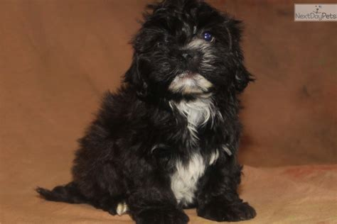 havanese puppies for sale indianapolis boomer havanese puppy for sale near indianapolis indiana 10a5fd9f 88e1