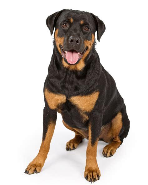 rottweiler karakter karakter rottweiler 100 images sandoval rottweiler rassen honden hondenrassen