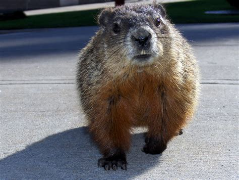 groundhog day in canada official canadian greeter groundhog and nan s