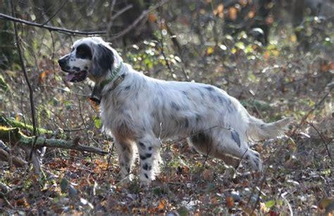 le setter definition jv roc mignon 233 levage de chien de chasse setter
