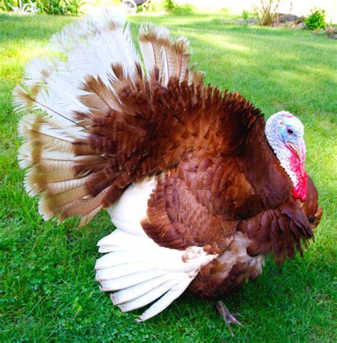 what color are turkeys list of turkey breeds modern farming methods