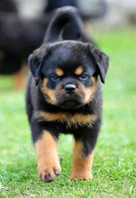 best shoo for rottweiler 17 best images about rottweiler on take a photo rottweiler pups and