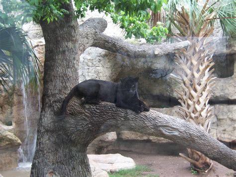 jaguars abilene black jaguar 187 abilene zoo gallery
