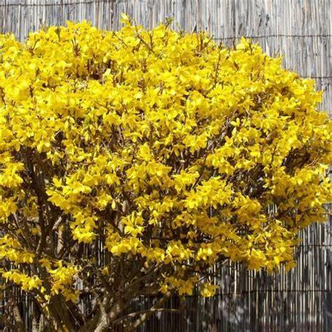 Fleurs Odorantes Pour Balcon by Arbuste Pour Balcon Et Terrasse Liste Ooreka