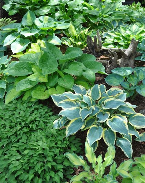 shade gardening how to use hostas to best advantage
