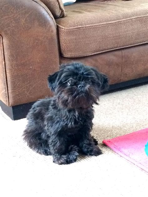 shih tzu needs beautiful black shih tzu needs forever home grantham lincolnshire pets4homes