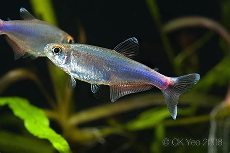 blue tetra fish www pixshark images galleries with