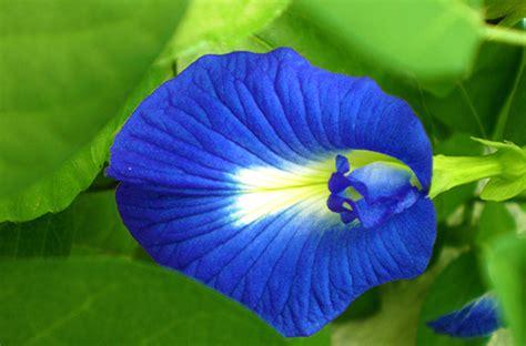 Tanaman Kembang Teleng merawat mata dengan kembang telang greeners co