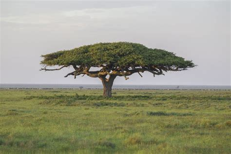 species  acacia trees  shrubs