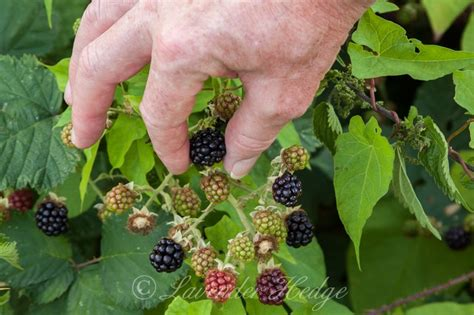Blackberry Eating Theme | blackberries lavender hedge