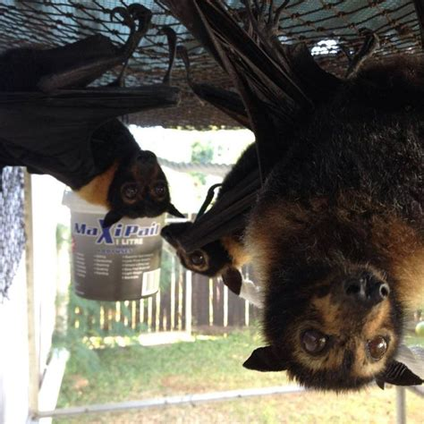 68 best images about flying puppies fox bat on