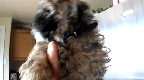 shoodle hair guide shoodle hair guide how big do shih poos get short