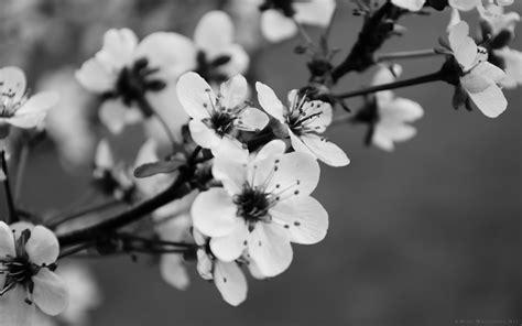 desktop wallpaper black and white flowers 50 hd and qhd beautiful black and white wallpapers