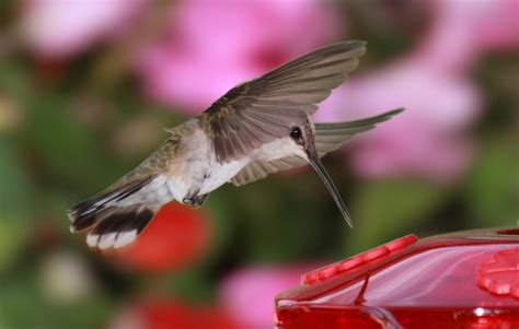 how long does hummingbird nectar last