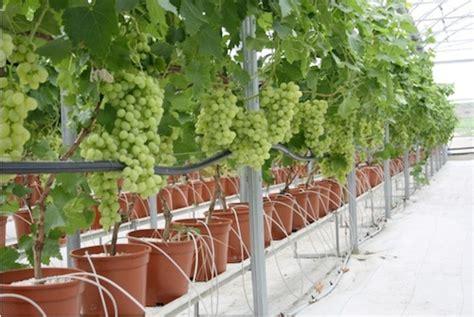 potatura vite uva da tavola uva da tavola novit 224 per le variet 224 precoci agronotizie